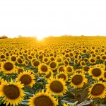 Fields of Sunshine 2