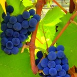 Grapes on the Vine in Central Oregon