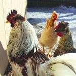 Viking Chickens in the Roaring Fork Valley 6