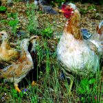 Viking Chickens in the Roaring Fork Valley 2