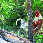 Viking Chickens in the Roaring Fork Valley 3
