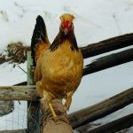 Viking Chickens in the Roaring Fork Valley