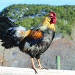 Viking Chickens in the Roaring Fork Valley 7