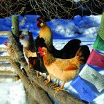 Viking Chickens in the Roaring Fork Valley 8