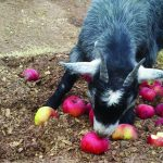 Picking Heirloom Apples at Orchard Creek Ranch 8
