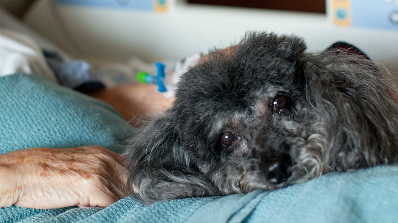 The PAWS Program at Dignity Health Chandler Regional Medical Center provides comfort to patients, four paws at a time 2