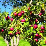 Picking Heirloom Apples at Orchard Creek Ranch 7