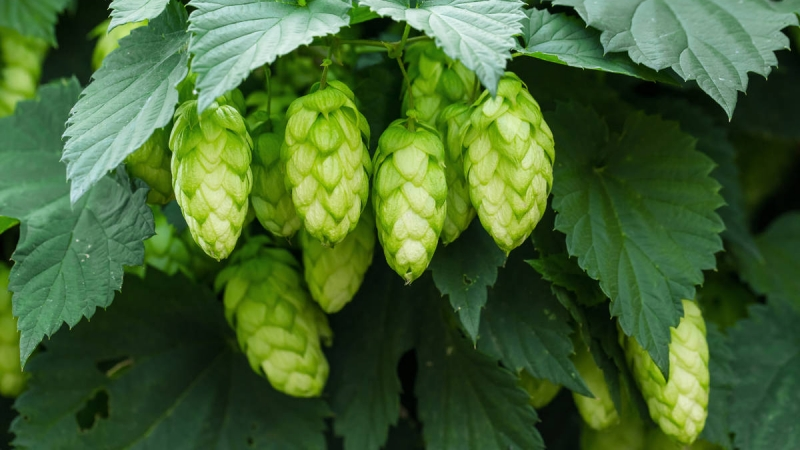 Colorado Hops Boom on the Western Slope