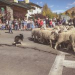 Idaho Sheep on the Move 9