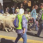 Idaho Sheep on the Move