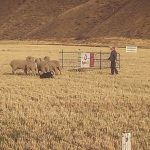 Idaho Sheep on the Move 5
