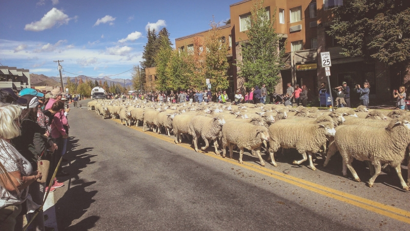 Idaho Sheep on the Move 18