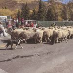 Idaho Sheep on the Move 12