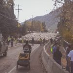 Idaho Sheep on the Move 11
