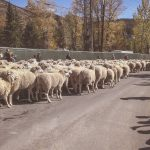 Idaho Sheep on the Move 3