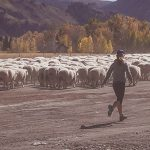 Idaho Sheep on the Move 8