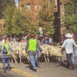 Idaho Sheep on the Move 6