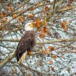 Photographer Rick Murray captures Majestic Eagles 6