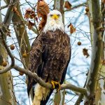 Photographer Rick Murray captures Majestic Eagles 5