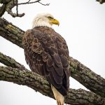 Photographer Rick Murray captures Majestic Eagles 2
