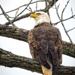 Photographer Rick Murray captures Majestic Eagles 1