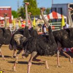 The 29th Annual Chandler Ostrich Festival 9