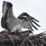 The Osprey Has Landed 2