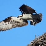 The Osprey Has Landed 4
