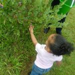 Yummy Summer Fun: Blueberry Picking Tips 2