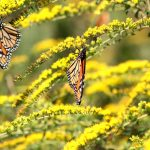 Butterfly Magic at Ladew Gardens 4