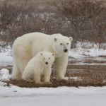 Playing with Polar Bears in Churchill Manitoba