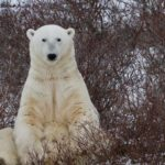 Playing with Polar Bears in Churchill Manitoba 8