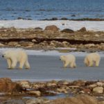 Playing with Polar Bears in Churchill Manitoba 5