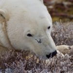 Playing with Polar Bears in Churchill Manitoba 6