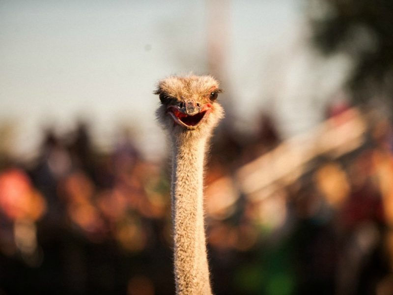 The Ostrich Festival 4